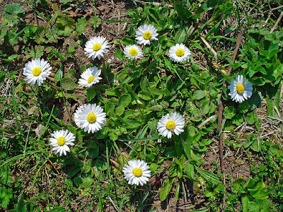 An image of daisies (Bellis perennis) with its edible flower buds, petals and leaves.