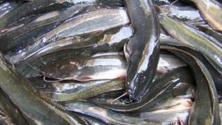 ukuran memanen ikan lele