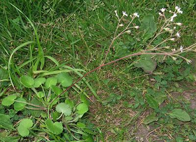 Saxifraga blanca (Saxifraga granulata)