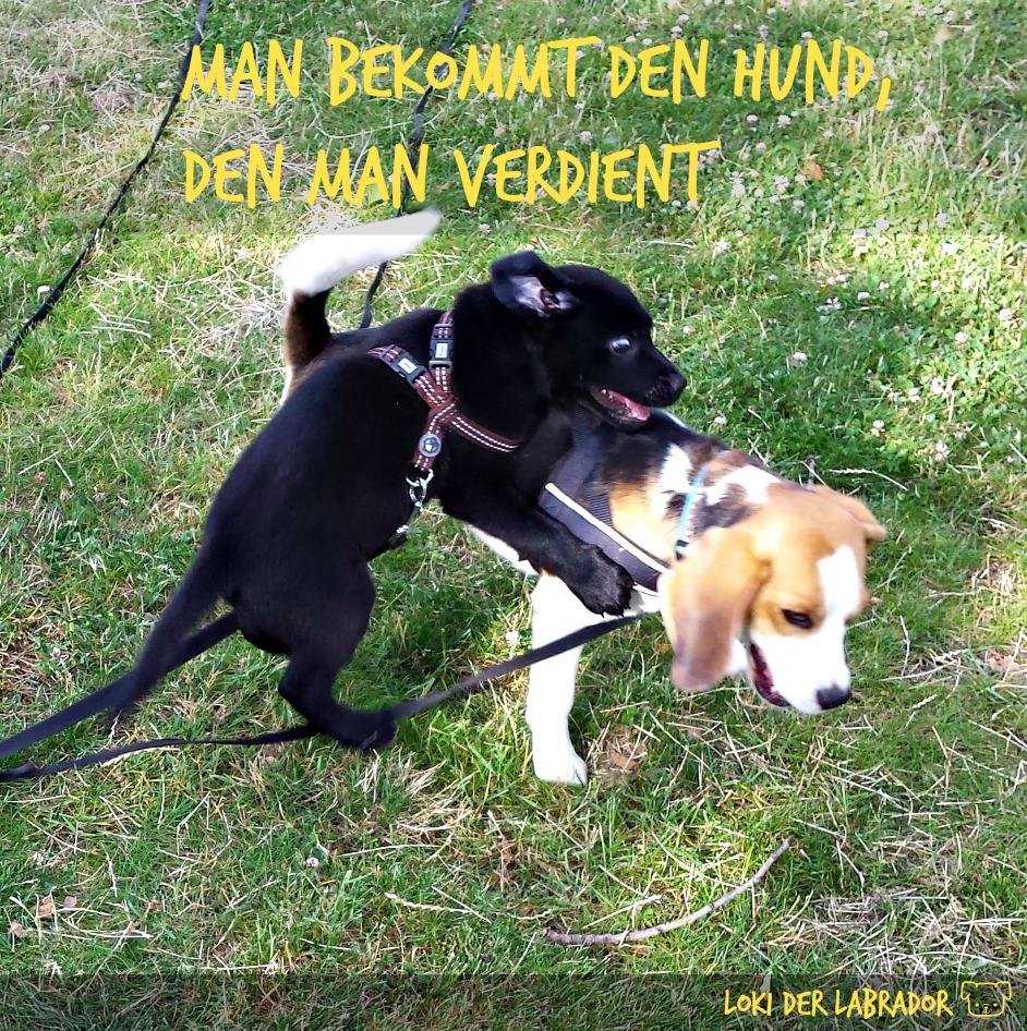 Labrador Welpe spielt mit Beagle