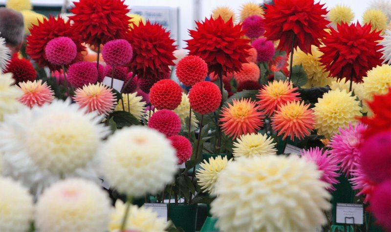 Dalias RHS Garden Wisley Flower Show 2017