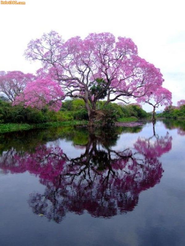 Brazilian Purple Piuva Tree