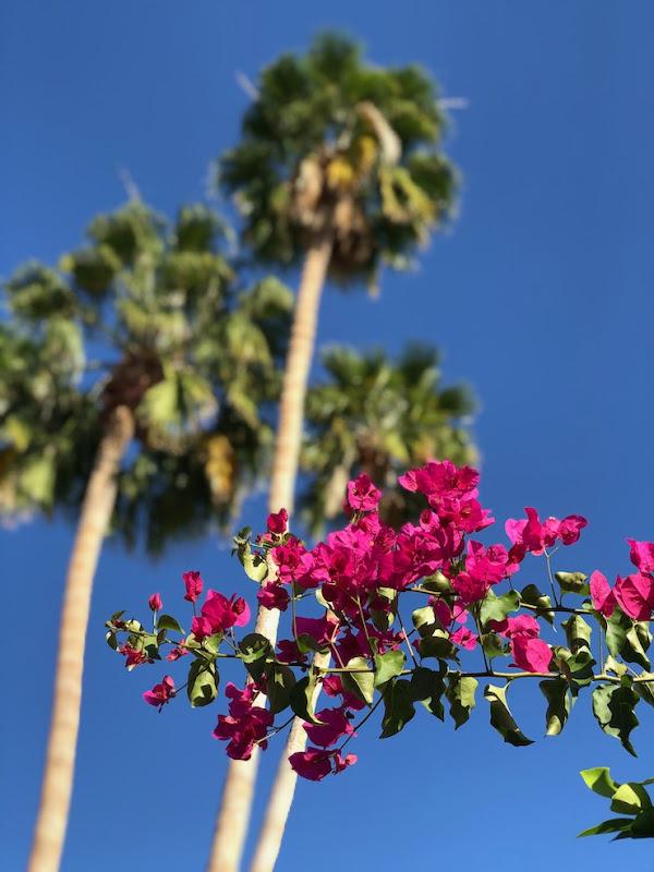 Bougainvillea palm trees