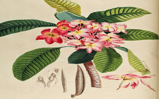 Gambar Bunga Kamboja yang Indah 12