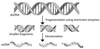 DNA Fragmentation
