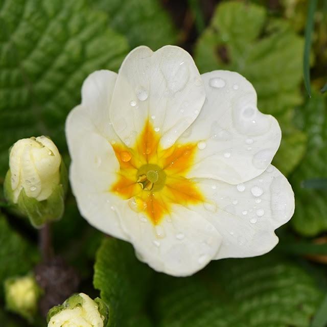 Primevère (Primula)