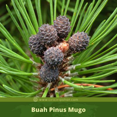 Ciri Ciri Buah Pinus Mugo