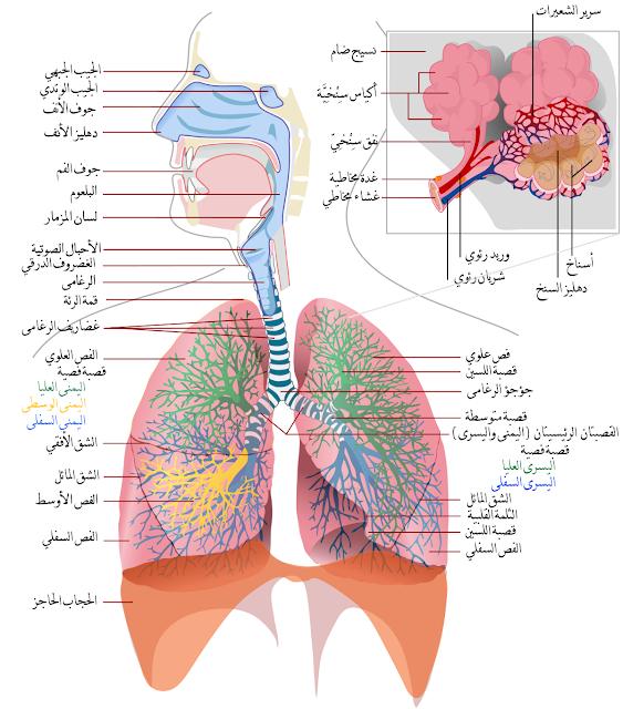 الجهاز التنفسي عند الانسان