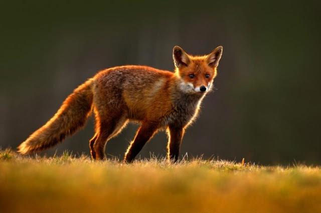 Animal Red fox - Renard roux - Raposa-vermelha