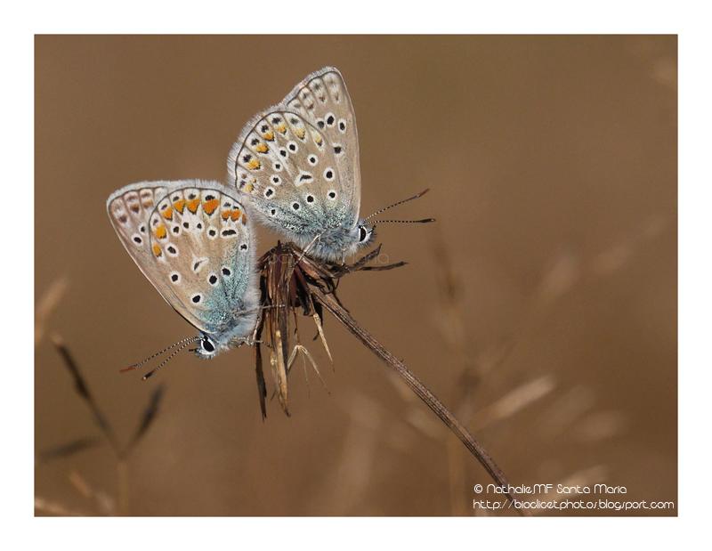 http://bioclicetphotos.blogspot.se/search/label/Azur%C3%A9%20commun%20-%20Polyommatus%20icarus