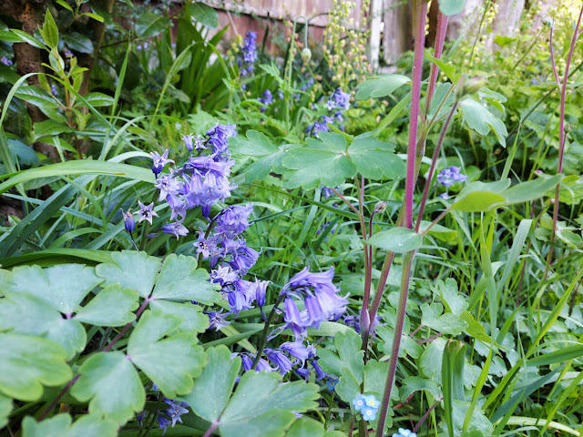 Spanish bluebells in a garden border surrounded by green leafy plants