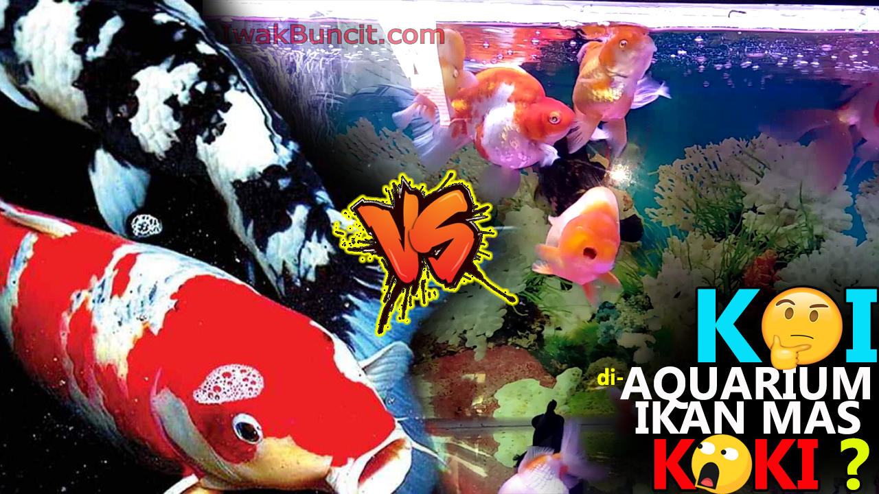 Bolehkah Menggabung Ikan Koi Dengan Ikan Mas Koki Dalam 1 Aquarium