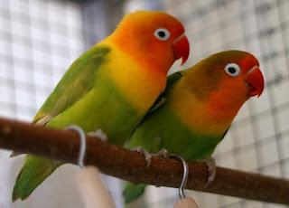 cara membuat lovebird ngekek panjang,membedakan lovebird jantan dan betina umur 2 bulan,cara menjodohkan lovebird,cara ternak lovebird,cara membedakan lovebird jantan dan betina dewasa,