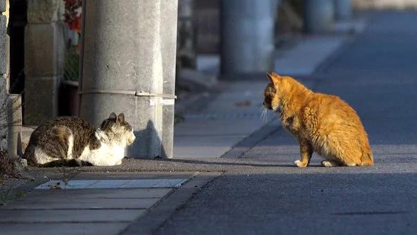 Cara Mengawinkan Kucing Agar Hasilnya Maksimal