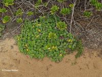 Ilima, sida fallax, Kaena Point Natural Area Reserve - Oahu, HI