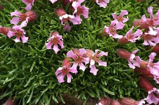 Saponaire naine - Silene pumilio - Saponaria pumilio