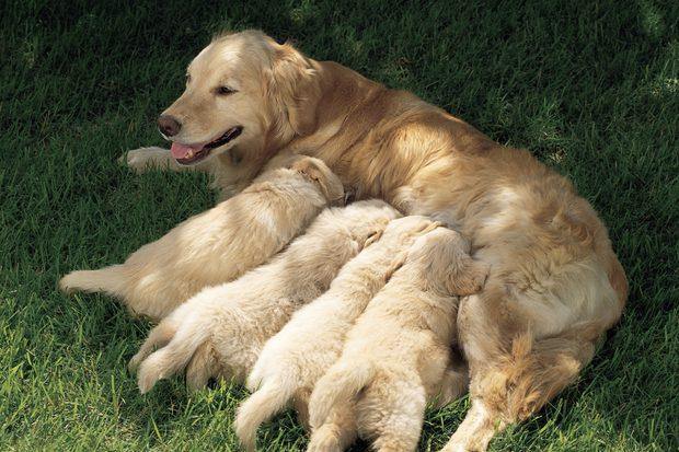 Mundo Pet,Dicas,Filhotes de cachorros,Amigos de 4 patas,Pet do Coração, Cuidados com filhotes de cachorro recém-nascido,alimentação de filhotes,cães e gatos