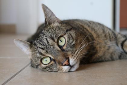 الزكام عند القطط