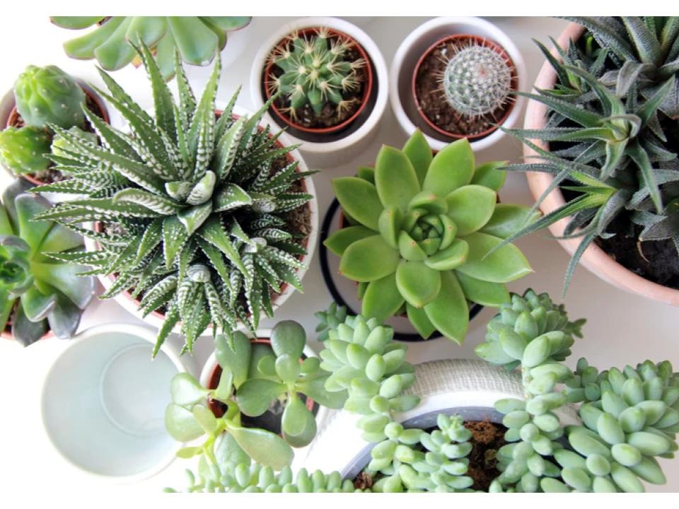 Types of Succulent varieties to plant