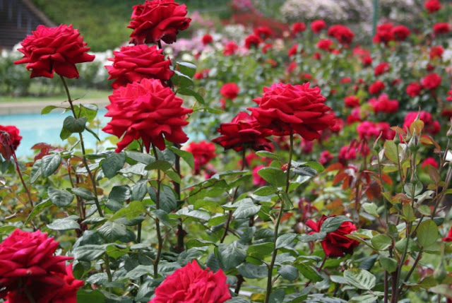 Mengenal Berbagai Macam Jenis Bunga Mawar