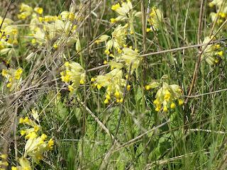 Primevère officinale - Coucou - Primevère de printemps - Primula veris