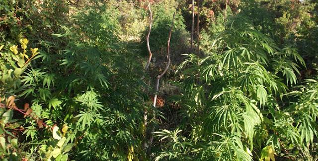Θεσπρωτία: Φυτεία με χασίς στο Μεσοβούνι Θεσπρωτίας...