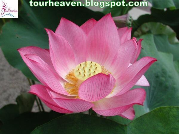 India national symbols 7national flowerlotus the scientific name of lotus is nelumbo nucipera gaertn lotus belongs to the monotypic family nelumbonaceae the flower grows in murkymuddy waters and mightylinksfo