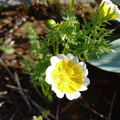 Gul og hvit blomst