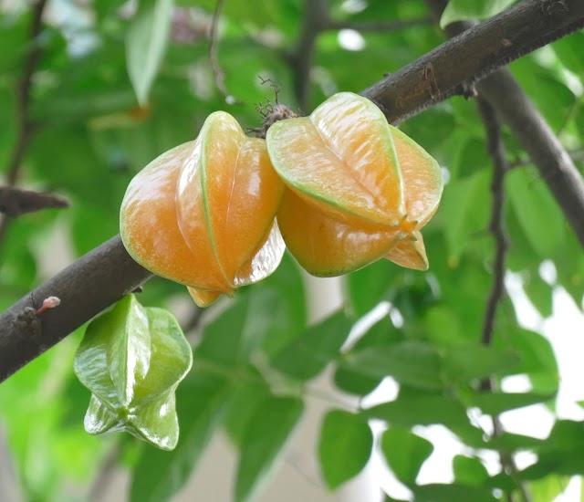 Cây khế ngọt say trái chín mộng giữa Sài Gòn