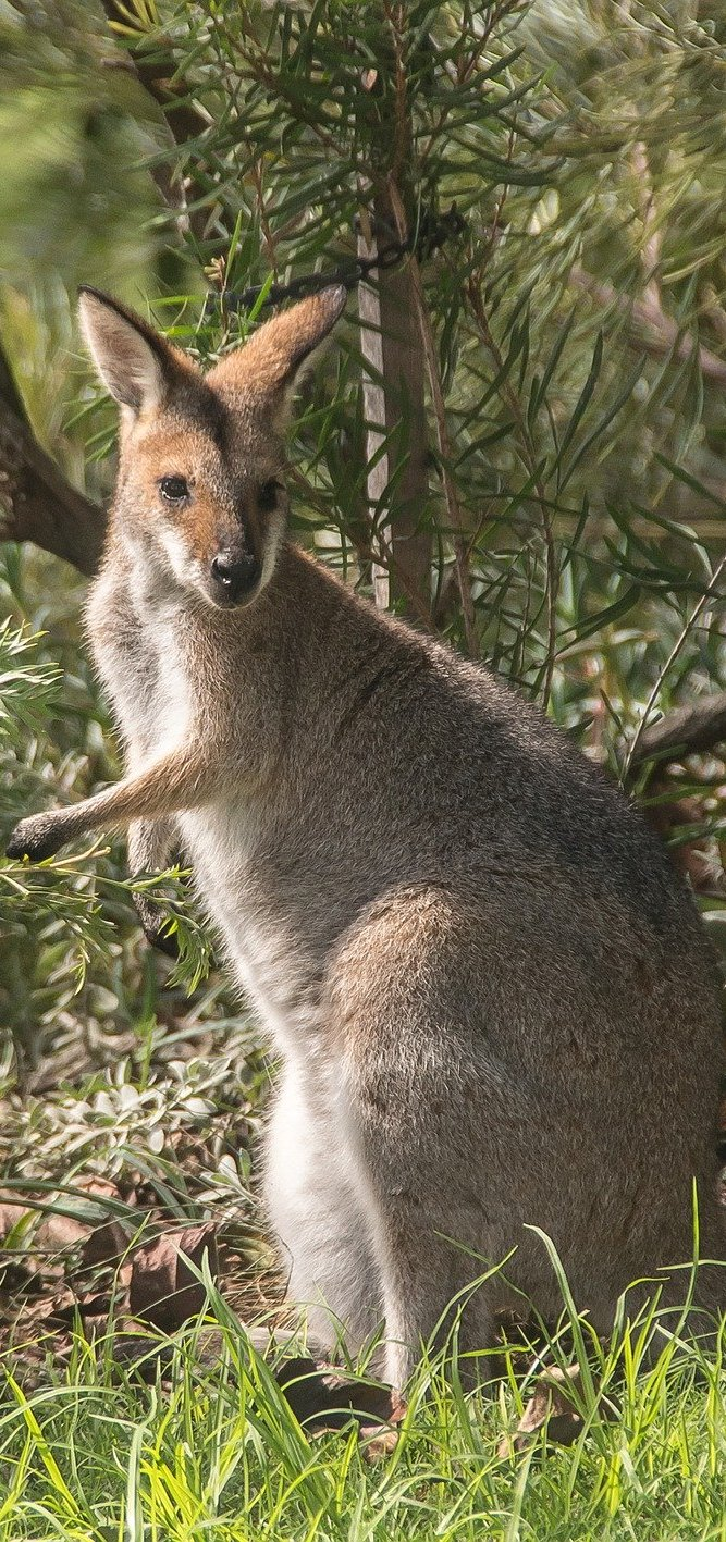 Rednecked wallaby.