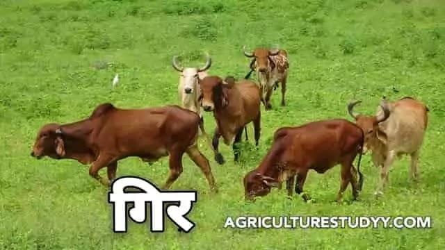 गिर नस्ल की गाय के बारे में पूरी जानकारी