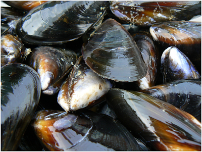 Freshwater mussels, mussel facts ,Marine mussels