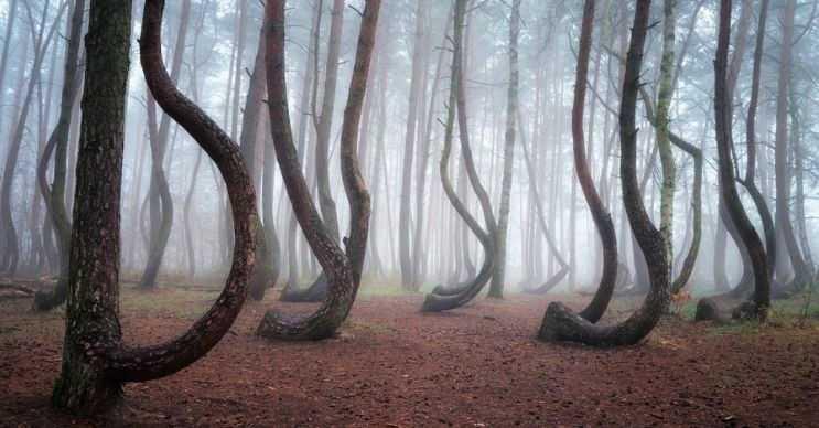 Bazıları bu çarpık ağaçların iyi ve kötü enerjinin birleştiği bir yer olduğunu ve ağaçların bu yüzden büküldüğünü düşünüyor.