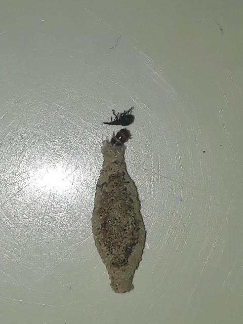 Mengenal Serangga Yang Disebut Sebagai Kamitetep