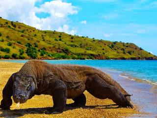 komodo bukan kodomo berjalan di pulau komodo