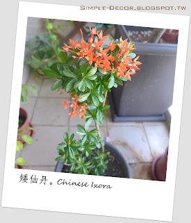 https://simple-decor.blogspot.com/2019/07/greeny-garden-chinese-ixora.html