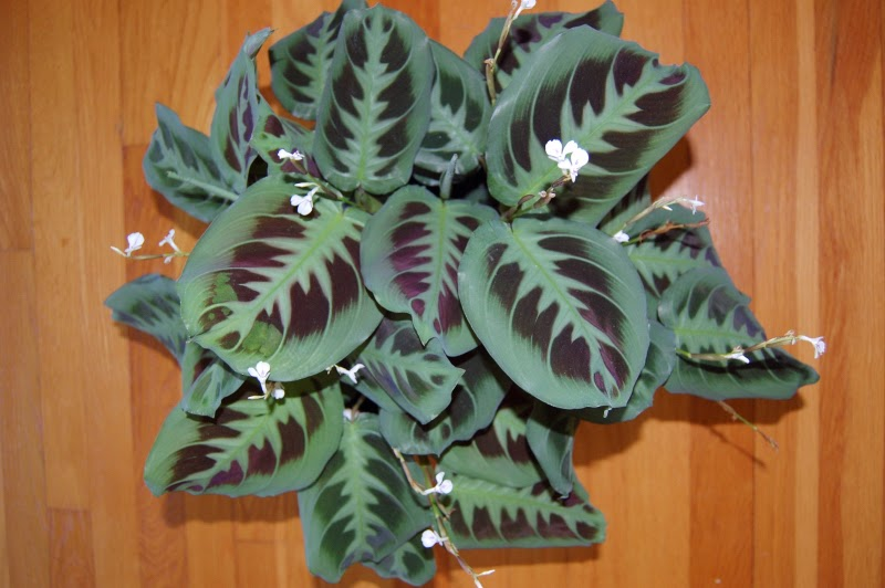 The Indoor Garden Prayer Plant