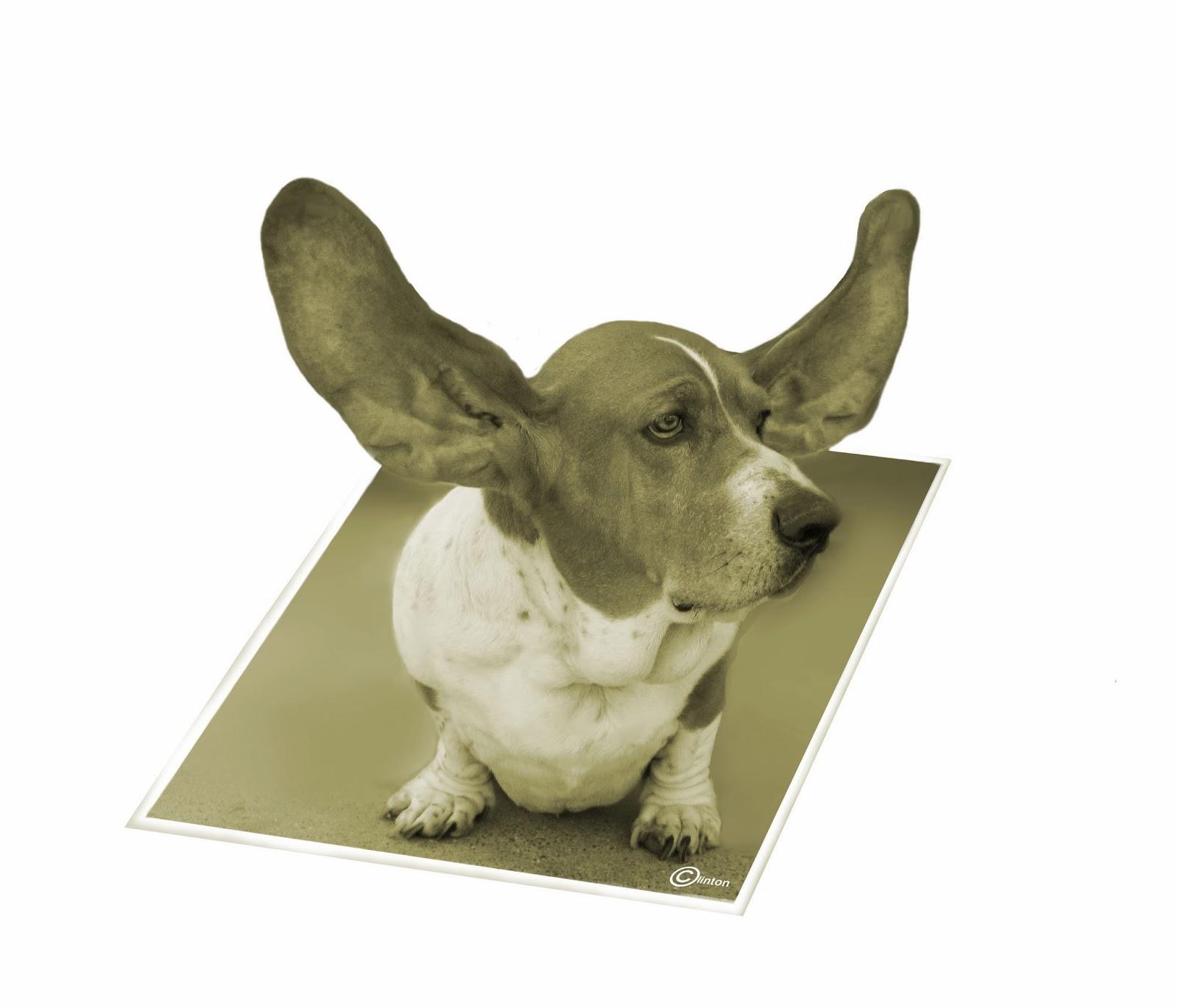 Bentley Basset with his ears flying