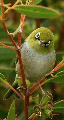 Mengatasi over birahi burung pleci