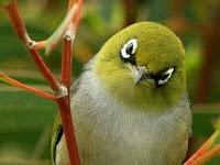 Tips Mengatasi Over Birahi Burung Pleci