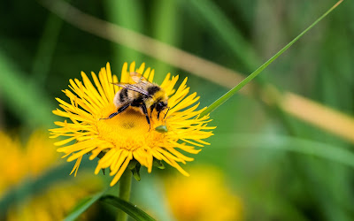 bee on yellow flower widescreen resolution hd wallpaper