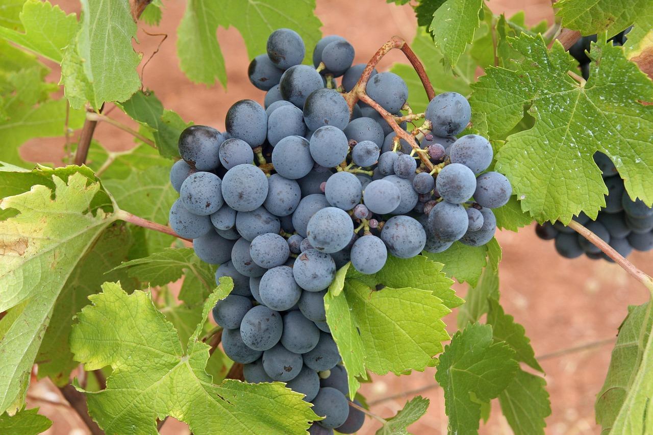 10 Manfaat Anggur Hitam untuk Kesehatan