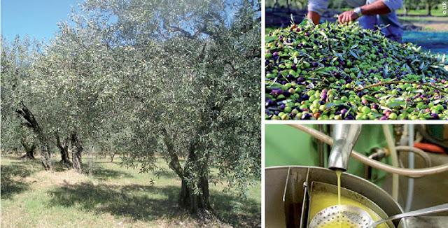 إنتاج الزيتون في وزان: بداية موسم واعد