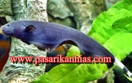 Harga Ikan Black Ghost Dewasa Terbaru