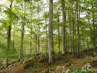Hayas en el Bosque de Pome