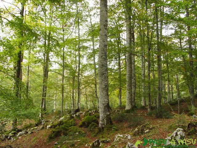 Hayedo en la zona central del Bosque de Pome