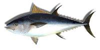 Orkinos balığının yandan görünüşü