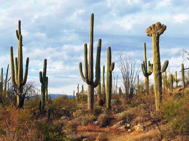 Carnegiea gigantea nel Deserto di Sonora