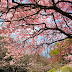春爛漫 @白野江植物園