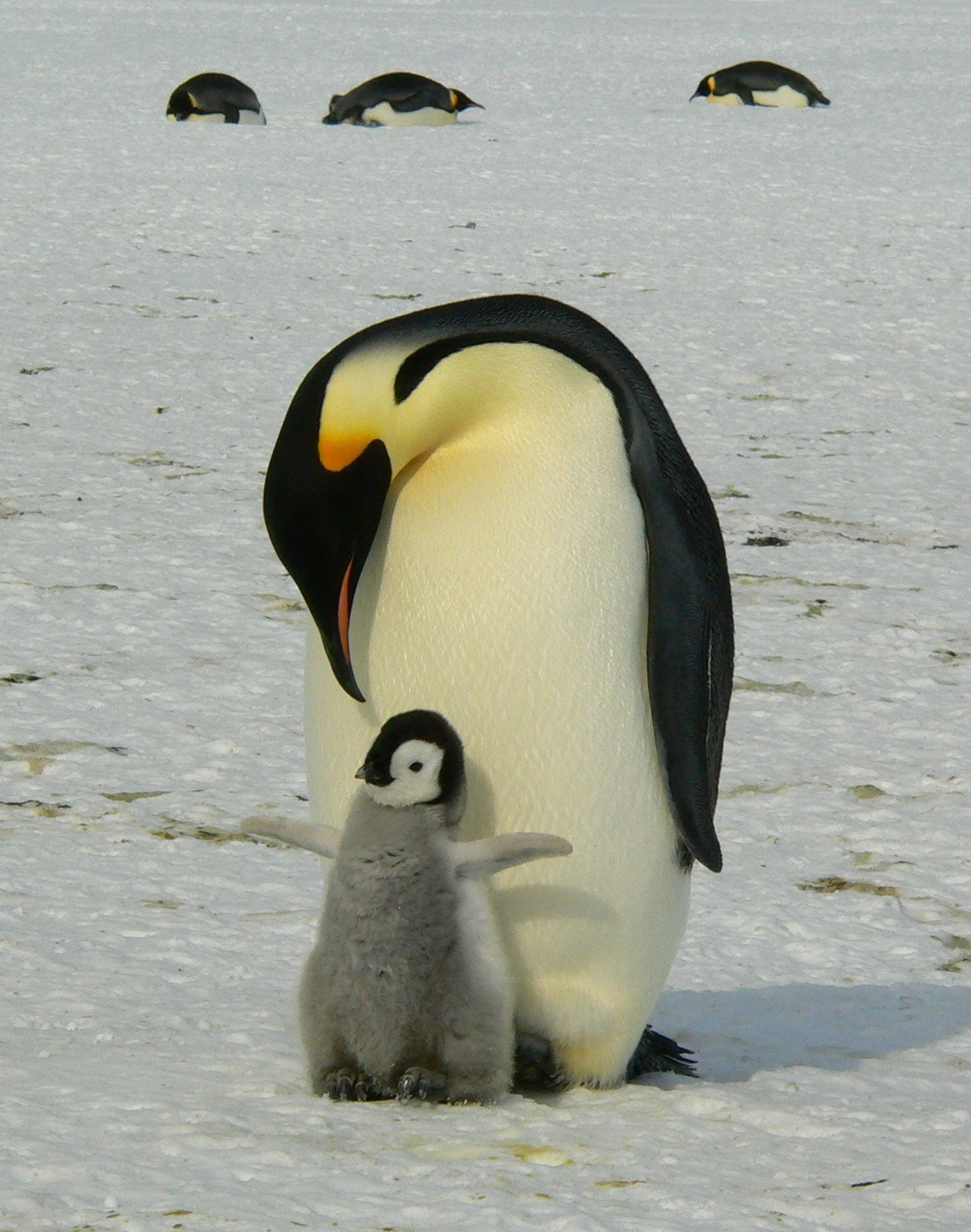 Emperor penguin fathers love.